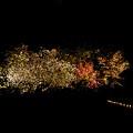 写真: 二条城の夜桜2011-1