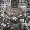 Photos: お賽銭は桜の花びら