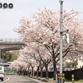 Photos: 信号の「色」が花見に行って信号が消えた?