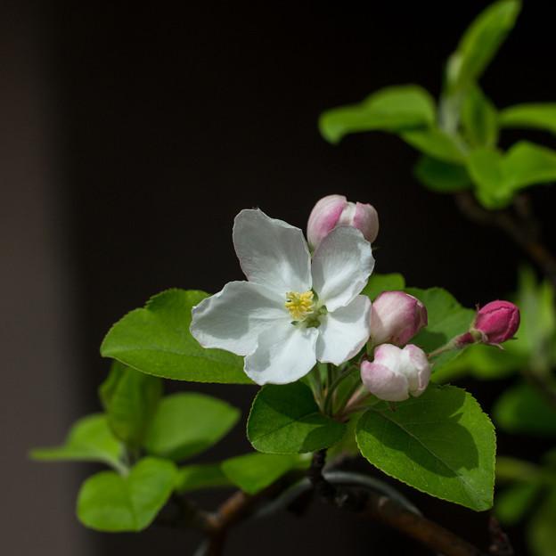 Photos: 姫リンゴの花は、蕾は最初赤で、ピンクになり、最後は白くなり、実は赤いという、赤の輪廻があるのだ(爆)