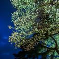相模川の夜桜