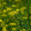 Photos: 黄色い春