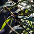 Photos: 黒い真珠