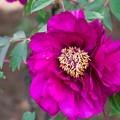 Photos: 紫の牡丹-1@両輪山龍谷寺