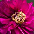 Photos: 紫の牡丹-3@両輪山龍谷寺