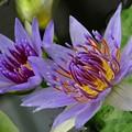 Photos: 紫色のマッチ棒