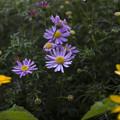 薄紫と黄色1