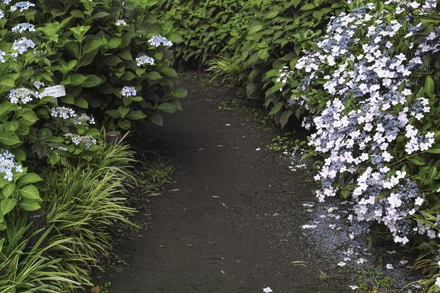 Photos: 散る紫陽花、散らない紫陽花