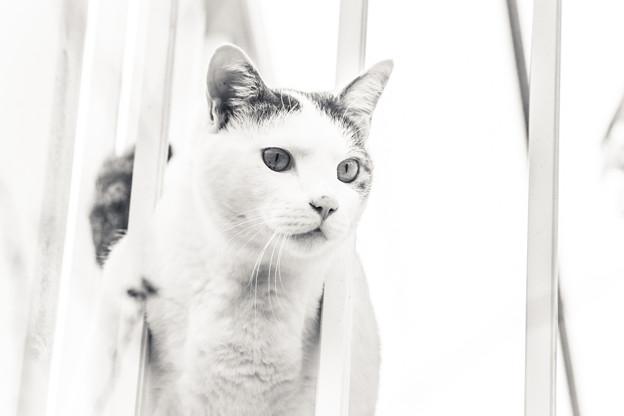 白い国から来た猫