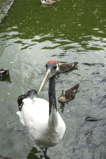 Photos: 鶴と眼が合った