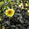 写真: 黒い葉っぱ!、どんぐりみたいな蕾の色が面白いと思いました
