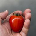 瑞々しいハート型のミニトマト