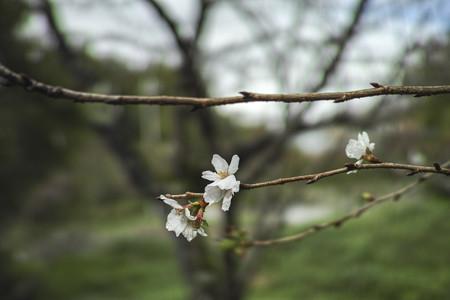 今頃桜が@秩父霊場巡礼の旅2013