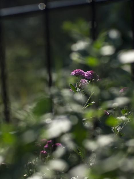 深窓の令嬢みたいに花を撮ってみた