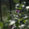 Photos: 深窓の令嬢みたいに花を撮ってみた