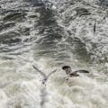 Photos: 荒波に負けず羽ばたく