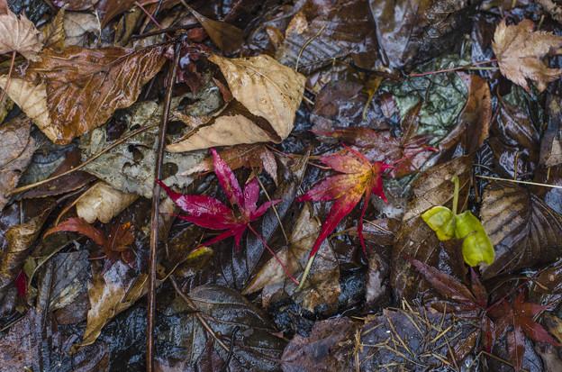 Photos: 紅葉の涙