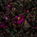 落ちた山茶花と、輝く蕊