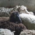 野次馬、、羊だけど
