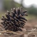 Photos: 春一番で落下した松ぼっくり
