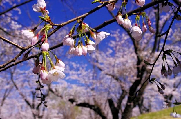 2014桜65「ソメイヨシノ」