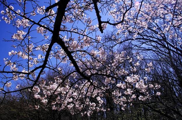 2014桜62「山桜」