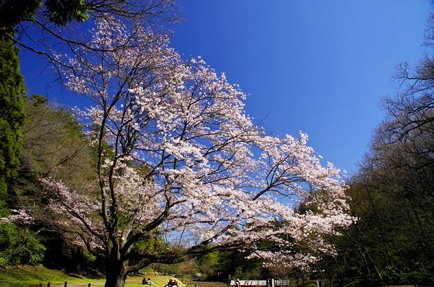 2014桜60「山桜」