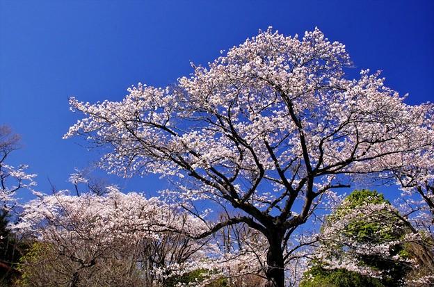 2014桜58「ソメイヨシノ」