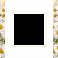 Photos: spring-chamomile