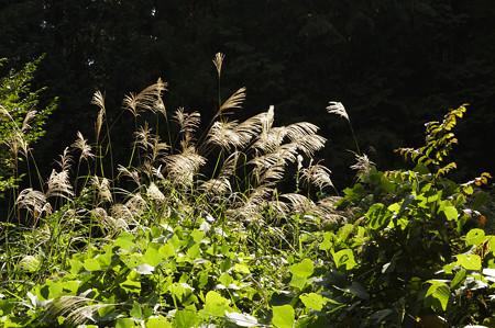 山道に茂るススキ