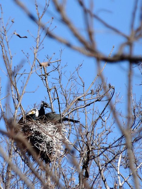 カワウの巣