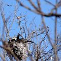 Photos: カワウの巣