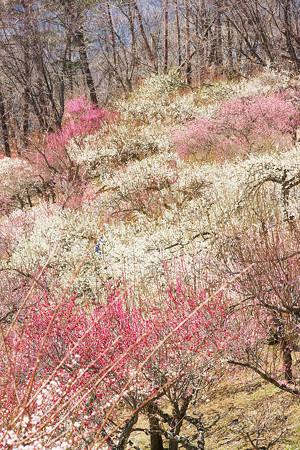 色とりどりの梅の花