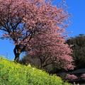 みなみの桜 (2) 南伊豆町下賀茂温泉