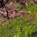みなみの桜 (11) 南伊豆町下賀茂温泉