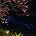 みなみの桜 (18) 南伊豆町下賀茂温泉