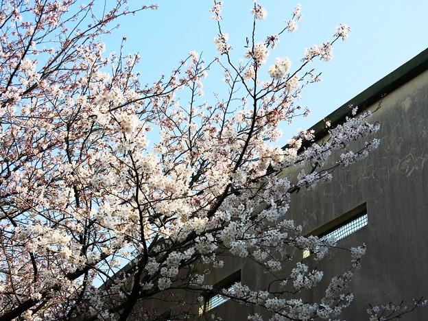球場にも桜