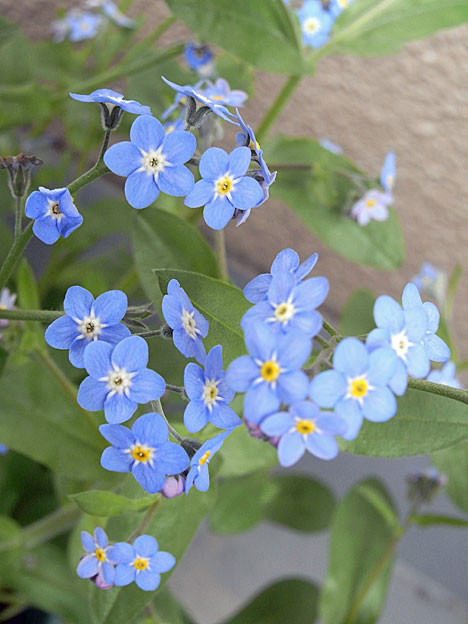 forget-me-not08