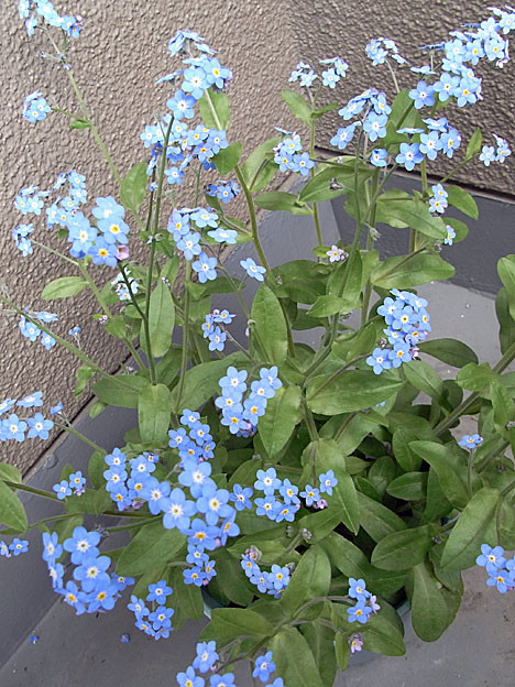 forget-me-not09
