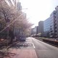 写真: 130404 明治通りは葉桜