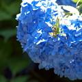 Photos: 青い手毬のその上で