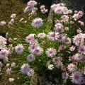 モモイロお花畑