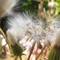 綿毛の季節