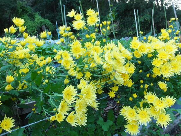 食用菊黄色