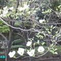 Photos: 花ミズキ白