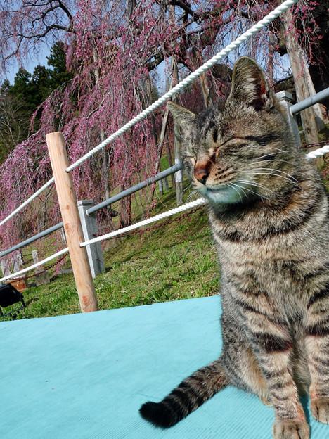 滝桜と猫さん