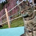 Photos: 滝桜と猫さん