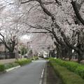 写真: 日野の桜 '14