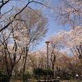 写真: 桜が満開