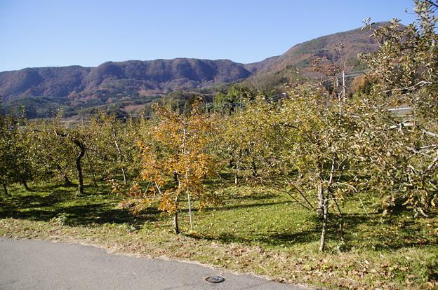 毎年行っているリンゴ園
